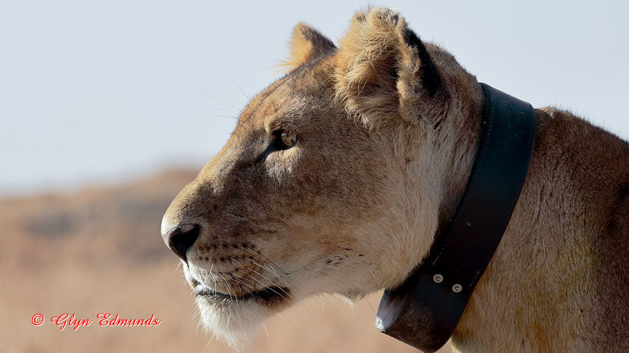 Collared Lioness