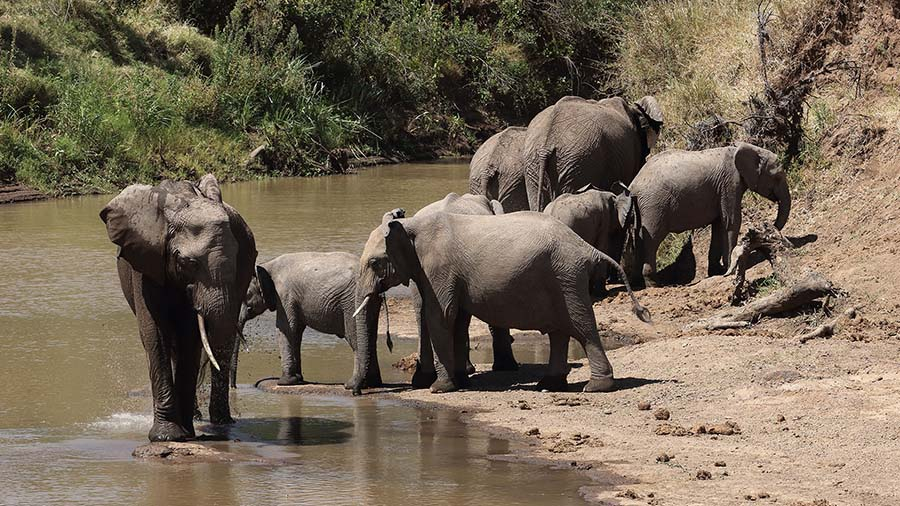 Elephant Herd at the River