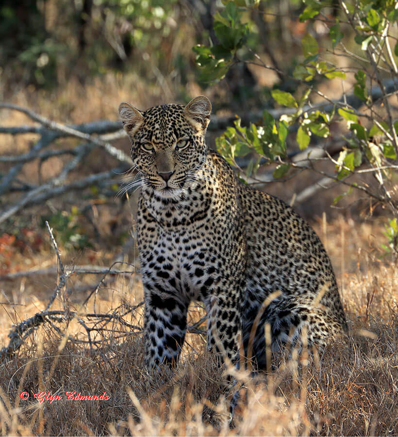 Leopard Watching
