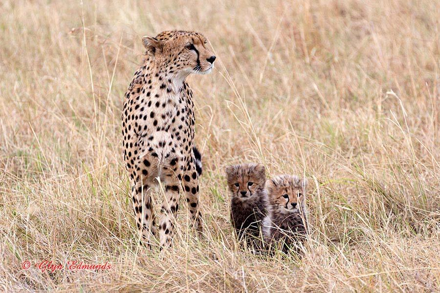 Cheetah with very Young Cubs
