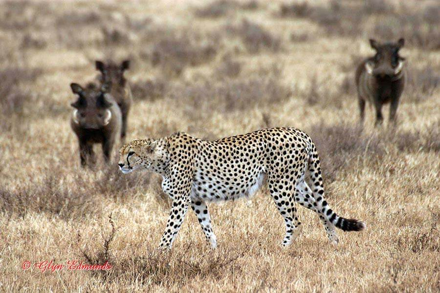 Cheetah with Warthogs