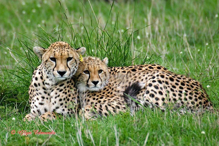 Cheetahs sticking Close