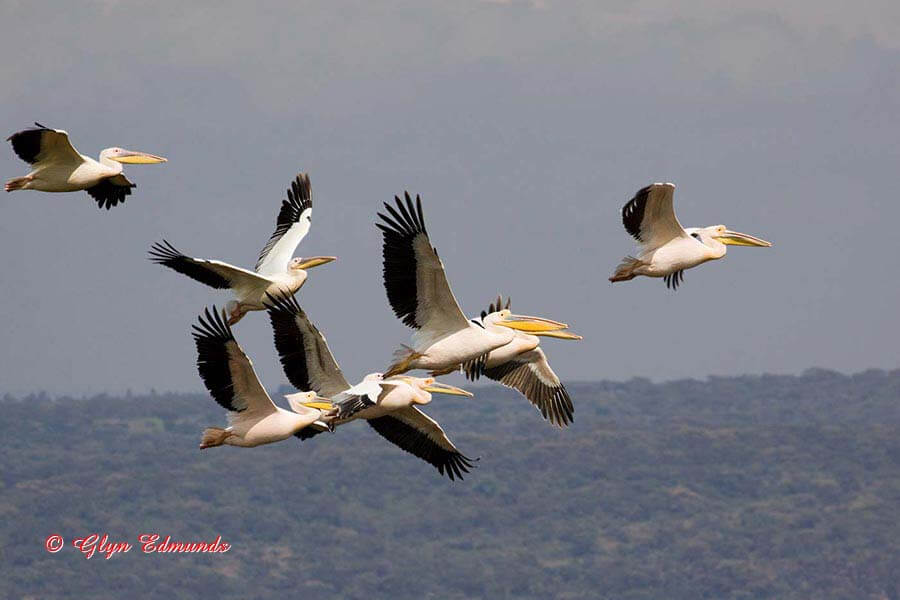 Great White Pelicans Flying