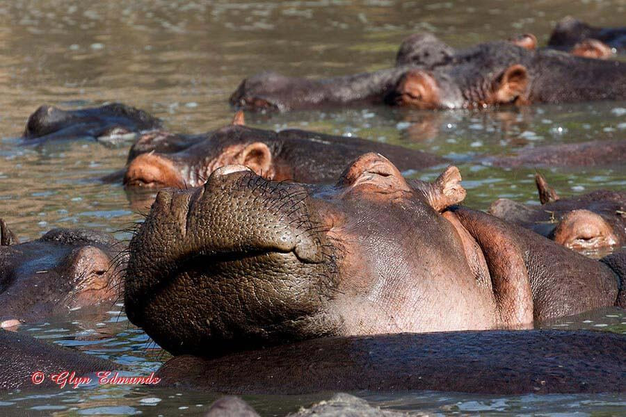 Hippo Snoozing