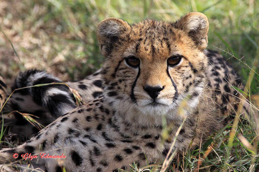 Inquisitive Cheetah