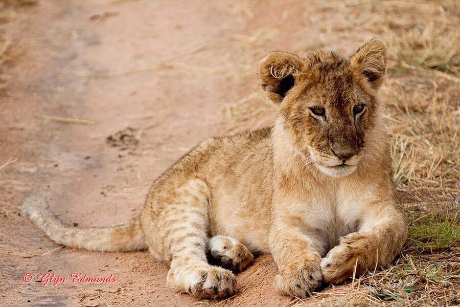 Lion Cub in the Road