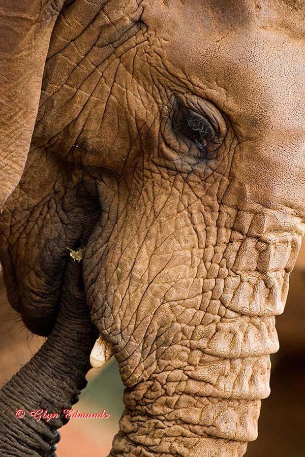 Young Elephant Close-up
